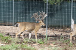 Bucks in our breeding program (20)