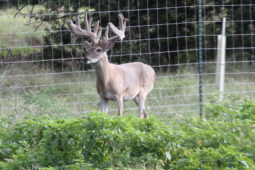 Bucks in our breeding program (21)