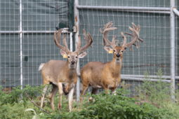 Bucks in our breeding program (24)