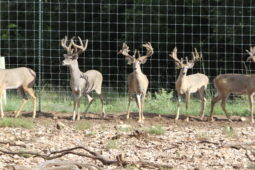 Bucks in our breeding program (25)