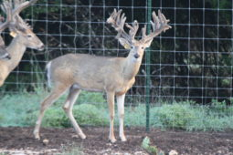 Bucks in our breeding program (32)