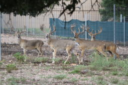 Bucks in our breeding program (34)